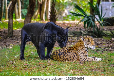 Black panther flirts with a leopard - stock photo