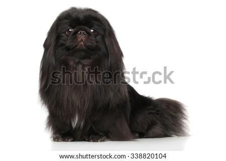 Black Pekingese dog. Portrait on a white background - stock photo