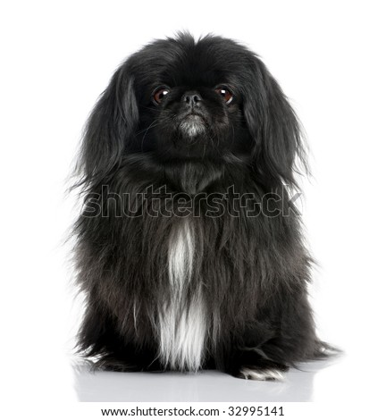 Black Pekingese (6 years old) in front of a white background - stock photo