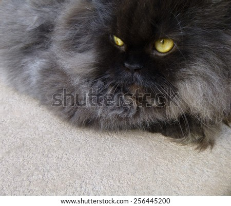 Black Persian Cat  - stock photo