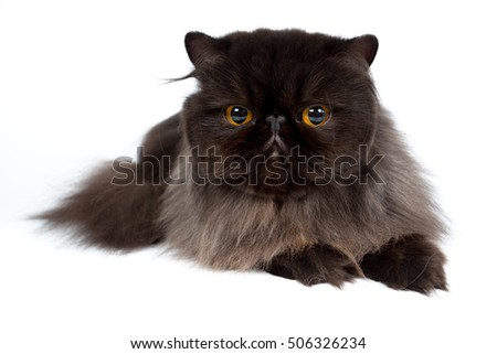 black persian cat isolated on a white background, studio photo