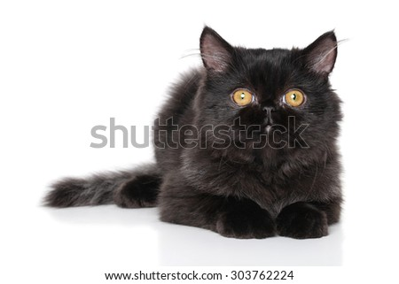 Black Persian kitten on a white background