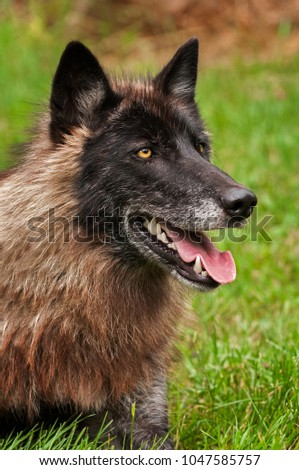 Black Phase Grey Wolf (Canis lupus) Looks Up From Ground - captive animal