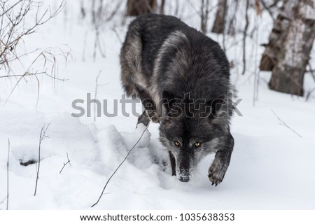 Black Phase Grey Wolf (Canis lupus) Stalks Forward - captive animal