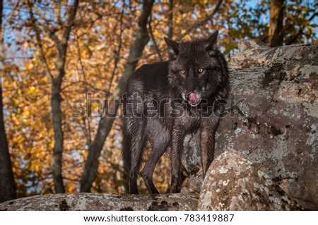 Black Phase Grey Wolf (Canis lupus) Stands on Rock Licking Nose - captive animal