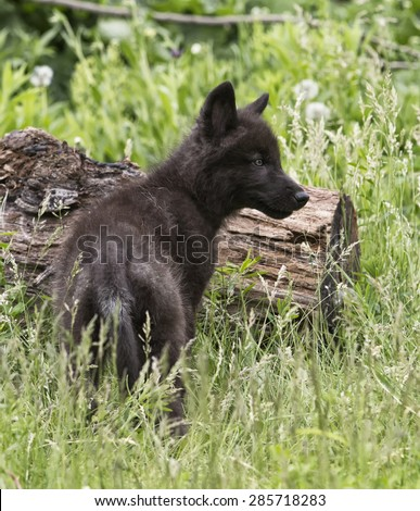 Black phased gray wolf pup standing in tall grass, looking off into the distance.