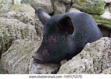 Black pig in the stone wall