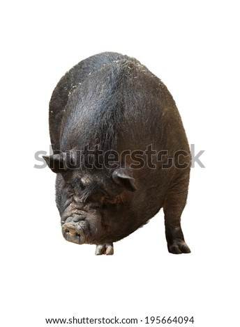 Black pig. Isolated over white background - stock photo