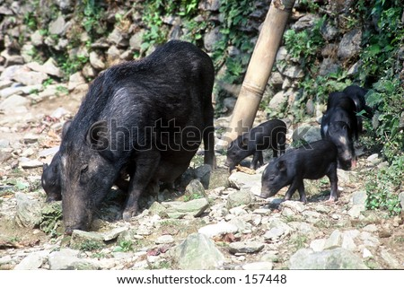 black pigs and piglet, village house, Nepal