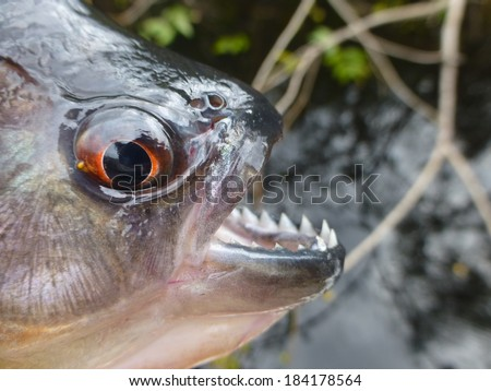 Black Piranha (Serrasalmus rhombeus)  in the tributary of the Rio Negro, Amazonas, Brazil - stock photo