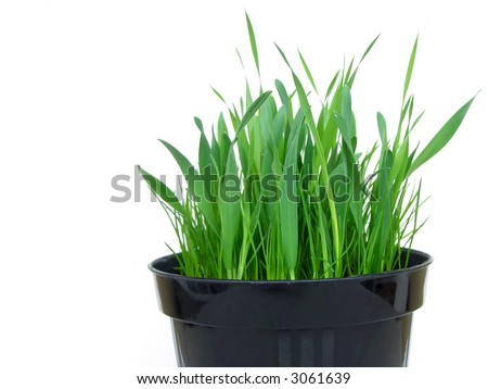 Black plastic vase of fresh indoor grass for cats, isolated on white, cropped on bottom