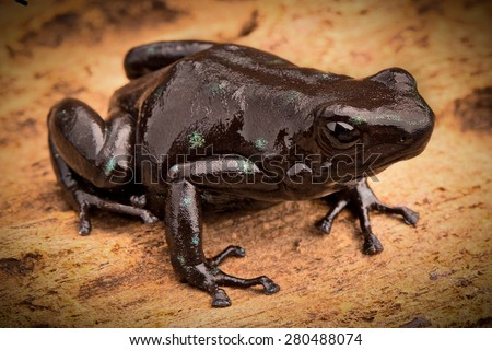 black poison dart frog Dendrobates auratus tropical rain forest animal from the exotic jungle of Panama - stock photo