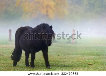 Black pony on  the pasture - stock photo