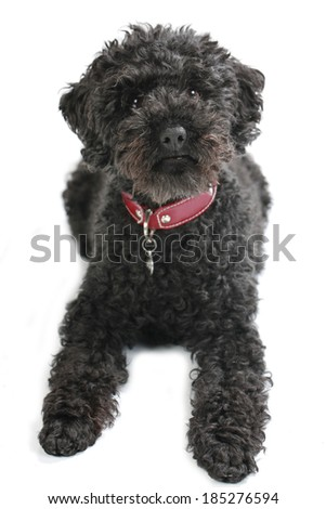 Black poodle isolated on white
