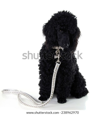 Black poodle wearing a fancy collar and leash.  - stock photo