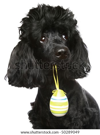 Black poodle with an Easter egg in a teeth. isolated on white background
