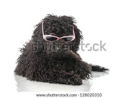 Black poodle with sunglasses - stock photo
