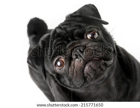 Black pug dog isolated on a white background - stock photo