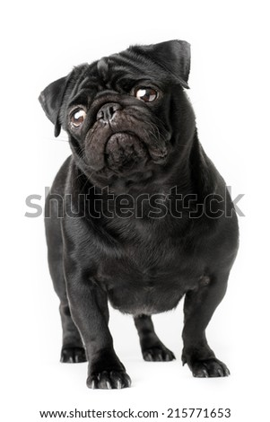 Black pug dog isolated on a white background