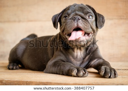 Black pug dog lying on wooden floor.