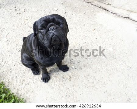black pug funny expression - stock photo