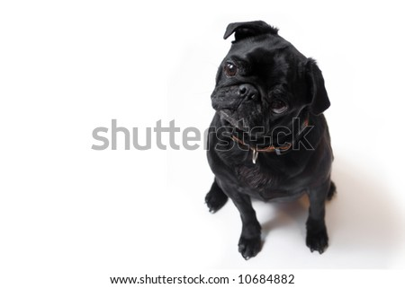 Black Pug  posing for the camera on a white background