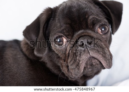 Black Pug Puppy on Bed