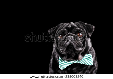 Black pug with a striped bow tie, copy space on the side - stock photo