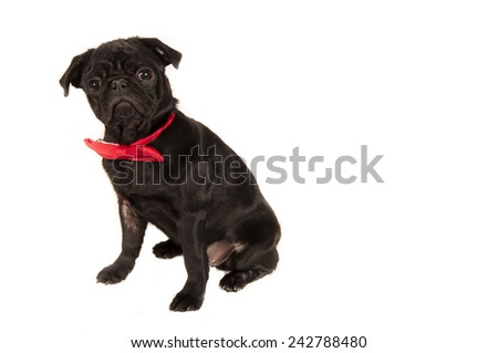 Black pug with bow isolated on white background