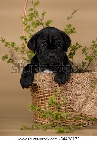 black puppy in the basket with green twig - stock photo