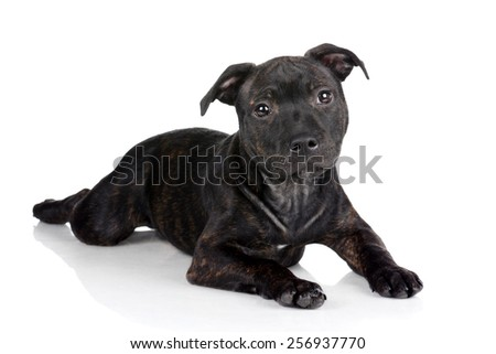 Black puppy Staffordshire Bull Terrier lying on a white background
