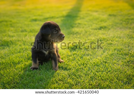 black  puppy walking on the grass in park - stock photo