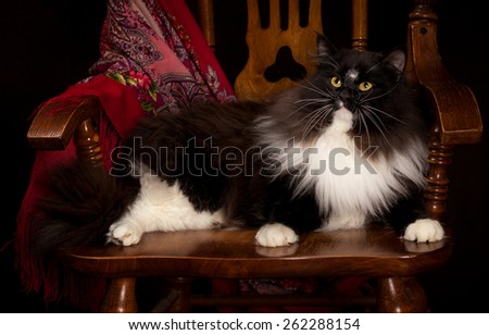 Black purebred Siberian cat lying on a chair. - stock photo