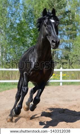 Black purebred stallion gallops on manege - stock photo