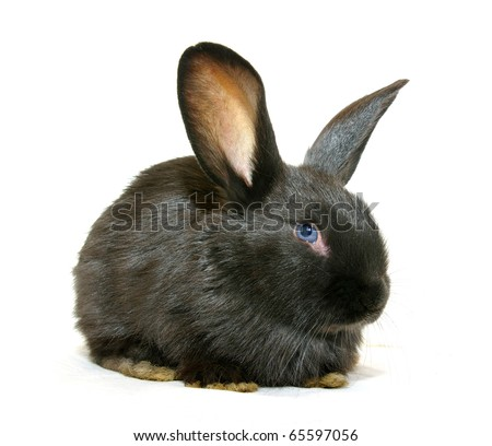 Black rabbit - stock photo