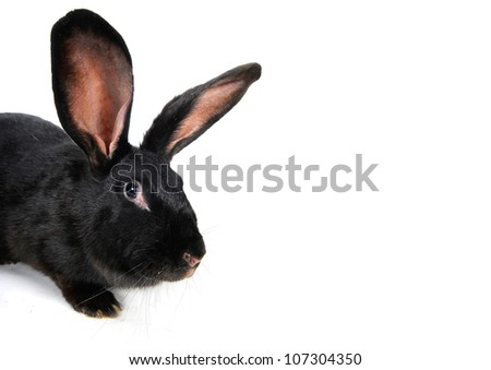 black  rabbit on a white background
