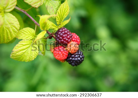 Black raspberries, rubus occidentalis, are edible fruit native to eastern North America that peak in summer.