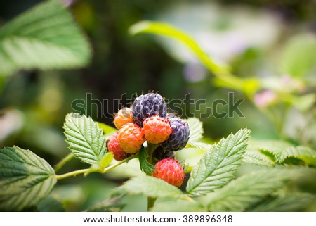 Black raspberry bunch of berries ripening on a sunny day - stock photo