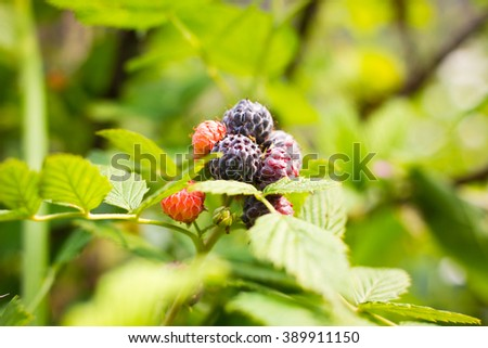 Black raspberry bunch of berries ripening on sunny day - stock photo