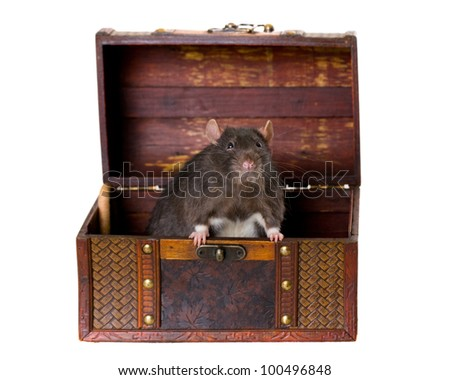 black rat in an old wooden chest