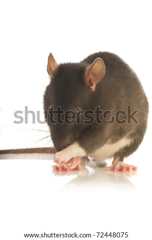 black rat isolated on white background