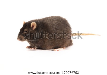 black rat on a white background