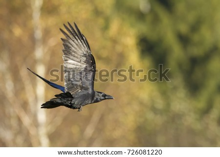Black raven flying (Corvus corax). Halloween