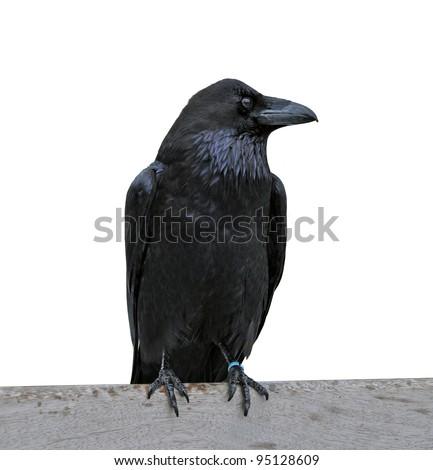 Black raven isolated on white - stock photo