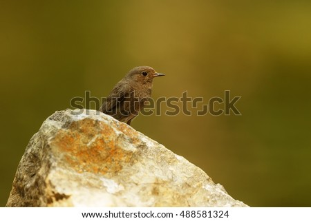 black redstart on stone