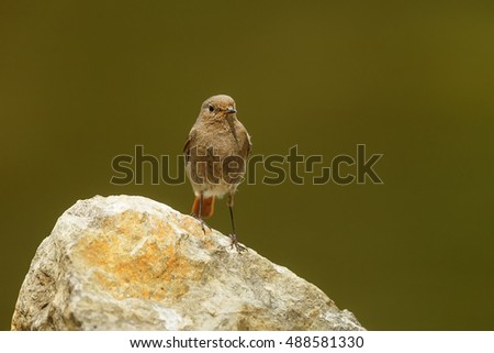 black redstart on the rock
