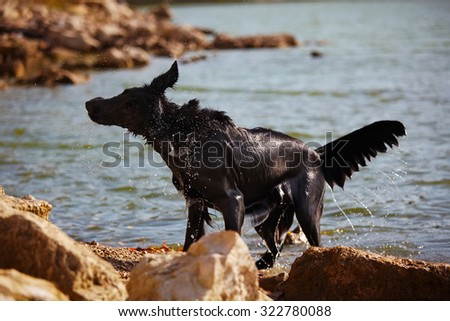 Black retriever shakes off water at the shore