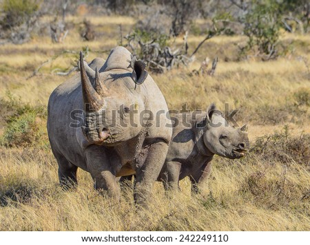 Black Rhino and calf - stock photo