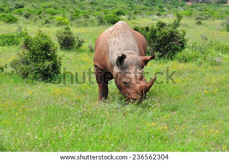 Black Rhino eating grass - stock photo