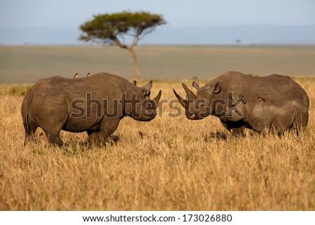 Black Rhino family fighting at sunrise in Masai Mara, Kenya - stock photo